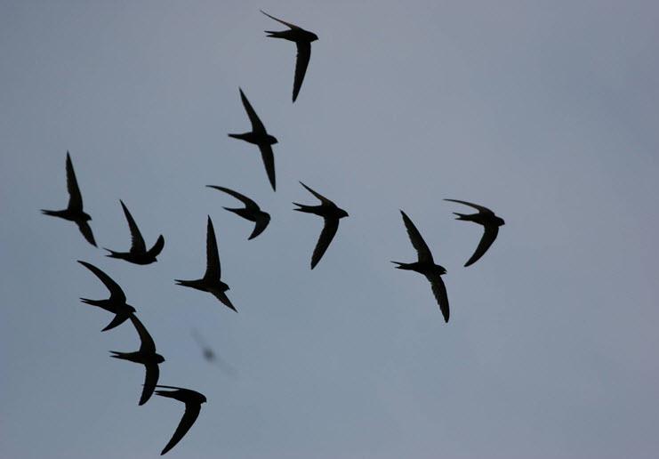 martinet oiseau vitesse